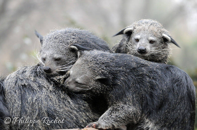 Jardin plantes Binturongs avril 2013 (10).JPG