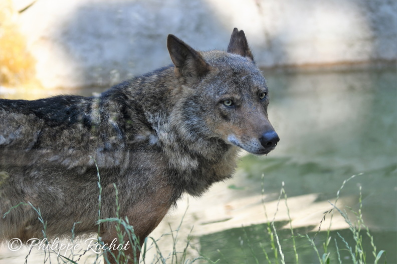 Loup zoo Vincennes 2019 bn - Copie.jpg