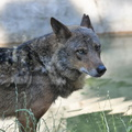 Loup zoo Vincennes 2019 bn - Copie