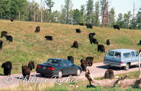 Usa Yellowstone Jeunes ours bruns 1993